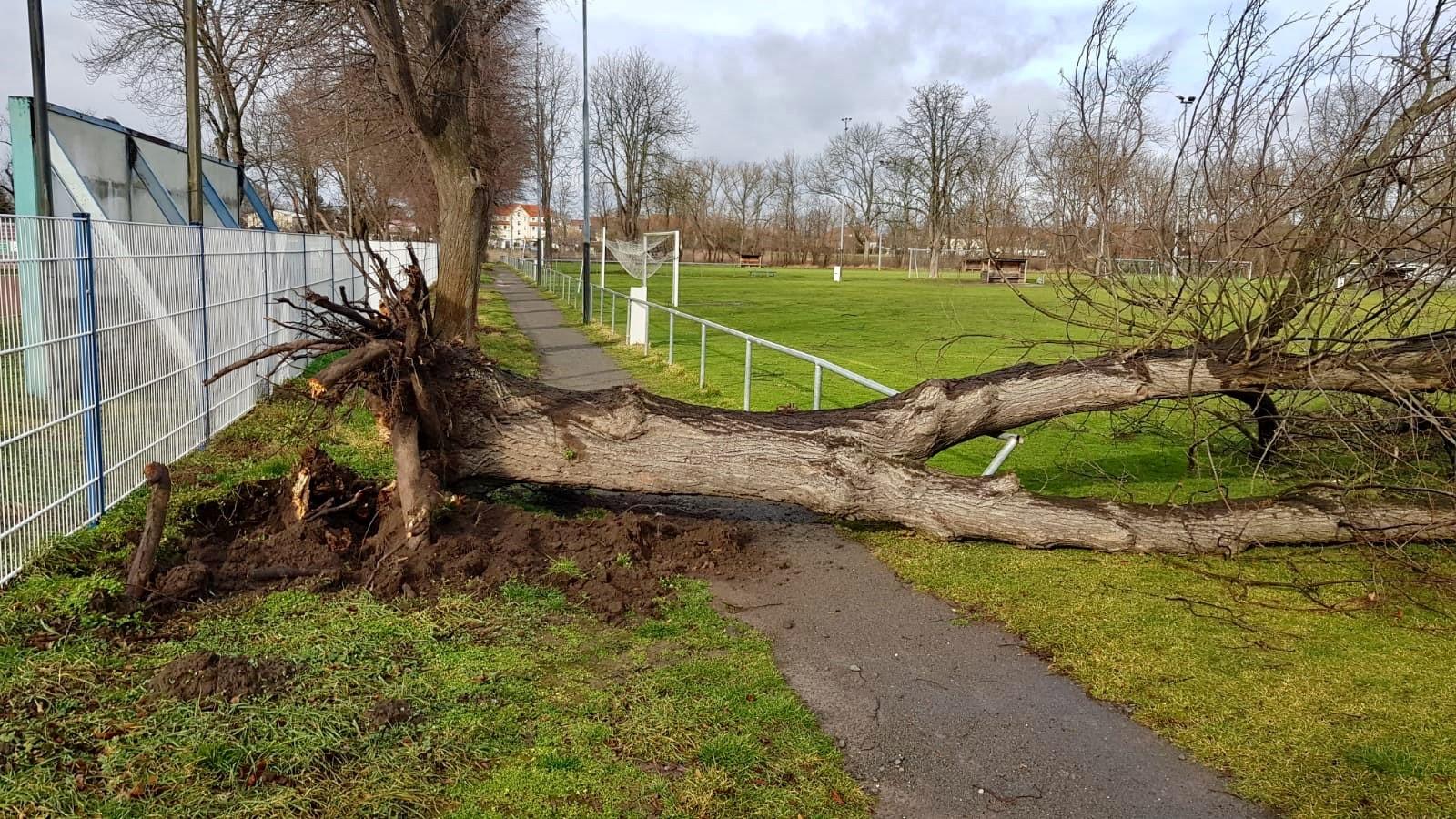 """Umgestürzter Baum im unmittelbaren Bereich des Sportplatzes """"Heger""""."""